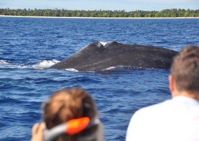 schwimmen-mit-walen-und-delfinen-oceano-whalewatching - galerie 2