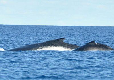 schwimmen-mit-walen-und-delfinen-oceano-whalewatching - galerie 7